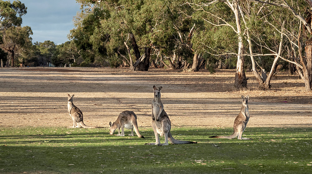 Kangaroos enjoying the few patches of green grass at Inverleigh Disc Golf Course